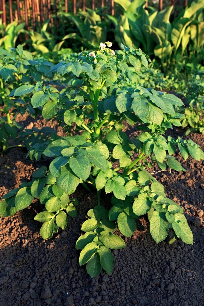 Kartoffel-Pflanze auf Freiland