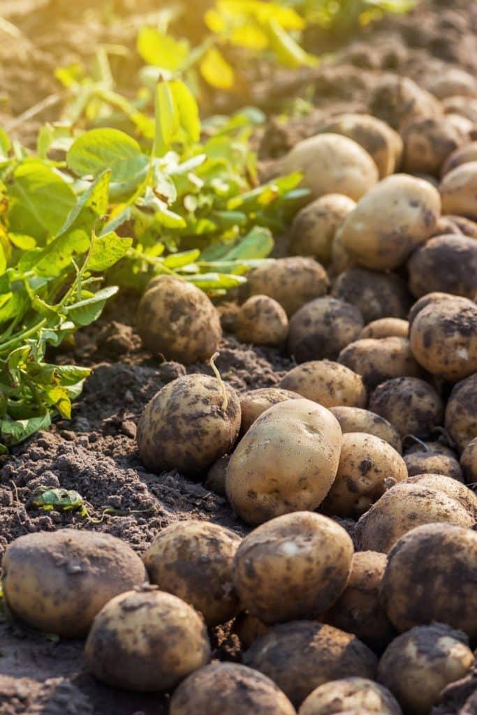 Selbst angebaute Kartoffeln ernten